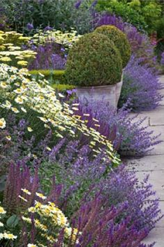 Border of Nepeta racemosa 'Walker's low', Salvia nemorosa 'Ostfriesland', Anthemis tinctoria 'Sauce Hollandaise', Anthemis tinctoria E.C. Buxton and Achillea credo with clipped Buxus balls in pots