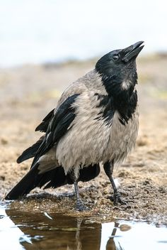 Hooded Crow: When I'm calling you! | Hooded Crow calls out t… | Flickr - Photo Sharing!