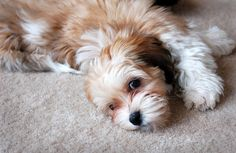 Another pinner said: My havanese puppy
