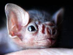 Vampire bat closeup
