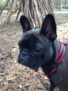 Frenchie in the woods...