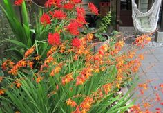 Crocosmia... beautiful indoors and out