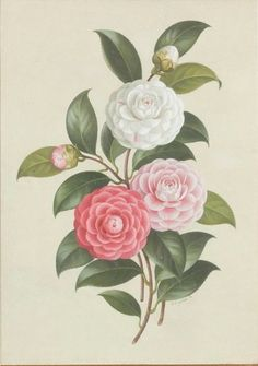 Camellia Virginia Franco, by Paul Jones :: The Collection :: Art Gallery NSW Vintage Botanical Prints, Botanical Drawings, Botanical Illustration, Illustration Art, Botanical Flowers, Botanical Art, Bujo, Scientific Drawing, Flower Thigh Tattoos