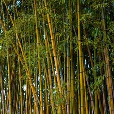 Golden Bamboo For Sale Online | The Tree Center