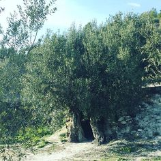 A 2K years Olive tree still in shape:  recollected 100 kilogram of olives only from this tree. #amazing #millena #bimillenialtree