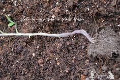 Plantarea rasadurilor de rosii - sfaturi - magazinul de acasă How To Dry Basil, Garden Tools, Solar, Herbs, Gardening, Beauty, Fashion, Self, Tomatoes