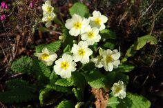 Clumps of primroses brighten up the valley slopes at Glendurgan like stars in the night sky. #primrose #glendurgan #cornwall #spring #flowers