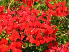 Muscate mereu inflorite – 5 secrete Pierre Frey, Wallpaper, Plants, Wallpapers, Plant, Planets