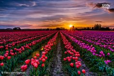 Majestic photograph during the the sunset behind the tulip fields in Skagit Valley http://buff.ly/1bFqtfW?utm_content=buffer8a872&utm_medium=social&utm_source=pinterest.com&utm_campaign=buffer #photography #photo #flower