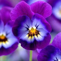 Purple flowers                                                                                                                                                                                 Mais
