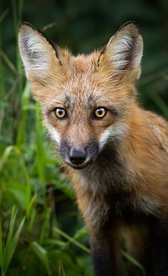 Red Fox Cub by Brittany Crossman - National Geographic Your Shot