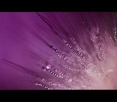 - violet pearls- von sr-fotografie