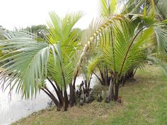 Nypa fruticans Fairchild Tropical Gardens, Miami