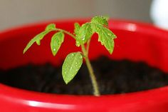 Tip #1: Grow Tomato Seedlings The Easy Way   10 Gardening Tips and Tricks You Can Use Right Now!