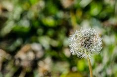 Taraxacum   Flickr - Photo Sharing! Taraxacum, Photography Photos, Dandelion, Flowers, Plants, Flora, Royal Icing Flowers, Dandelions, Floral