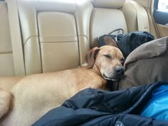 Traveling cross country with your dog can bring some challenges, but it can also be a great experience for dog and owner.  I recently embarked on a cross country journey with the resident Stingydog, Watson, and learned some things along the way.  We had a great time but there are