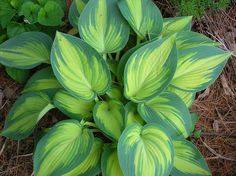 Hosta 'June'. Beautiful foiage adds bright color to the shade garden. part shade to full shade.