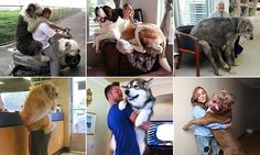 People have been sharing amusing photos of dogs with no spacial awareness leaping into the laps and arms of their owners in a bid to get as close to their human companions as possible.