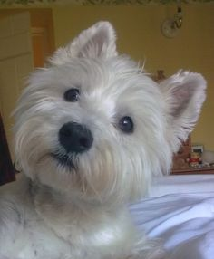 The cutest Westie in the whole world!