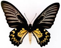 Troides magellanus magellanus (C. Butterfly Images, Butterfly Frame, Butterfly Wings, Moth Tattoo Design, Cover Pics For Facebook, Butterfly Species, Lion Love, Wings Design, Butterfly Watercolor