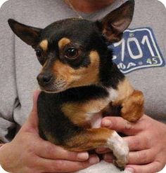 Rat Terrier Chihuahua Mix Black and Brown
