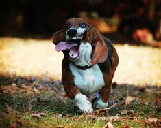 What happens when a Basset Hound runs