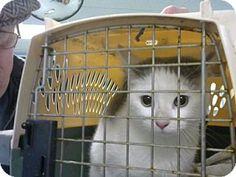 Philadelphia, PA - Domestic Shorthair. Meet Frick, a cat for adoption. http://www.adoptapet.com/pet/17878918-philadelphia-pennsylvania-cat