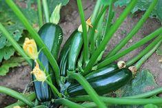 Zucchini Dungen Wann Wie Womit Plantura Zucchini Pflanzen Zucchini Anpflanzen Garten Anpflanzen