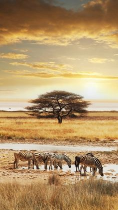 Five Zebras & One Wildebeest Enjoying A Drink...  (An African Thorn Tree Stands Tall in The Background.)