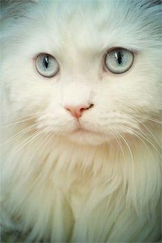 La mayoría de los gatos blancos con ojos azules son sordos, a no ser que tengan un ojo de color distinto al otro Esto es cierto en parte, existe un mayor porcentaje de gatos con sordera. El gen de la sordera, es un gen propio de los gatos blancos, se llama alelo w y es el causante del color blanco y la sordera en los gatos. No todos los gatos blancos son sordos, sólo lo son los que presentan dicho gen.