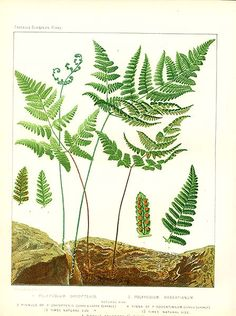 Antique print: picture of Oak Fern (Polypodium dryopteris) - Limestone Oak Fern (Polypodium robertianum)