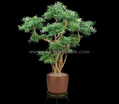 8' PODOCARPUS BONSAI TREE