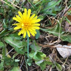 Help. What kind of flower is this? Dandelion? Or that one that just looks like a #dandelion? It is a lone lost little thing  here in #Maine in the autumn #windhammaine #flower #wildflower #nature #namethatflower
