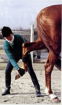 Limber Your Senior Horse (or any aged horse) by Stretching