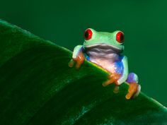 frogs pictures | _Frogs_Wallpapers_HQ__1600_X_1200__www.HQPictures.tk-9.jpg_Frog ...