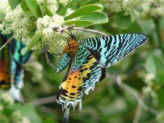 Chrysiridia croesus, African Sunset Moth. Photo by B Wursten.