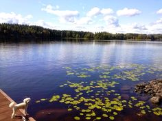 Tobbe the Poodle in summer Finland Poodle, Finland, Mountains, Lifestyle, Nature, Summer, Travel, Voyage, Summer Time