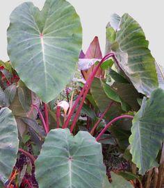 Colocasia Esculenta 'Pink China'