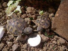 Testudo Hermanni hatchlings