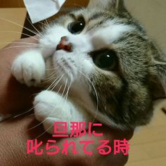 最近、本当によく思うんです…。 猫様も愛嬌で許される相手と、そうでない相手をよく見てるなぁと… そして、男は可愛い女の愛嬌に本当に弱いなぁと… それでは、うちの猫様の私が叱った時と旦那が叱った時の表情の違いをご覧下さい #結局可愛いは正義 #あざとい女 #マンチカン #猫