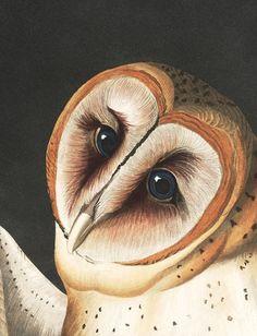 bird artwork Sketches Eyes is part of Drawing Demonstration A Birds Eye Artists Network - John James Audubon's Birds of America Audubon beautiful high resolution images Audubon Prints, Audubon Birds, Birds Of America, John James Audubon, Bird Artwork, Bird Illustration, Owl Art, Bird Prints, Animal Prints