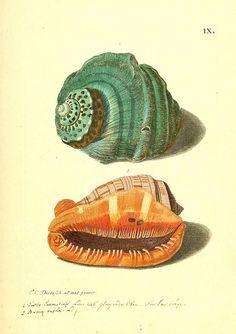 Sea To Zee All Things Coastal Sea Glass| Serafini Amelia| Illustration Shells-Biodiversity Heritage Library