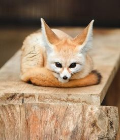 This Fennec Fox Will Melt Your Heart - I Can Has Cheezburger?