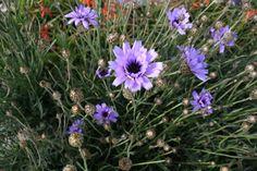 Catananche caerulae - blauwe strobloem - Vaste planten | Maréchal