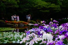 The Scent of Japanese Iris in Heian Jingu Shrine