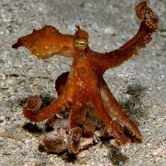 octopus  | two-spotted octopus blends in to its surroundings by mimicking drift ...