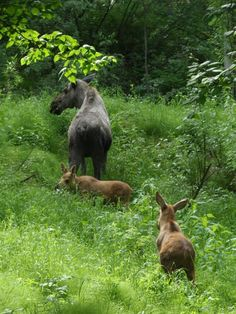 When food is abundant for moose in Alaska, they often have twins the next season.