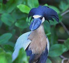 🔥 A Boat-Billed Heron and its interesting 'hair' All Birds, Love Birds, Beautiful Birds, Animals Beautiful, Cute Animals, Exotic Birds, Colorful Birds, Exotic Pets, Funny Birds