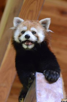 Red panda at the Chausu-Yama Zoo in Nagano prefecture, Japan
