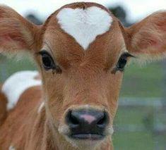 ♡ Cow